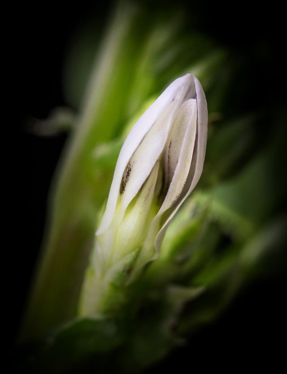 Fava Bean Flower