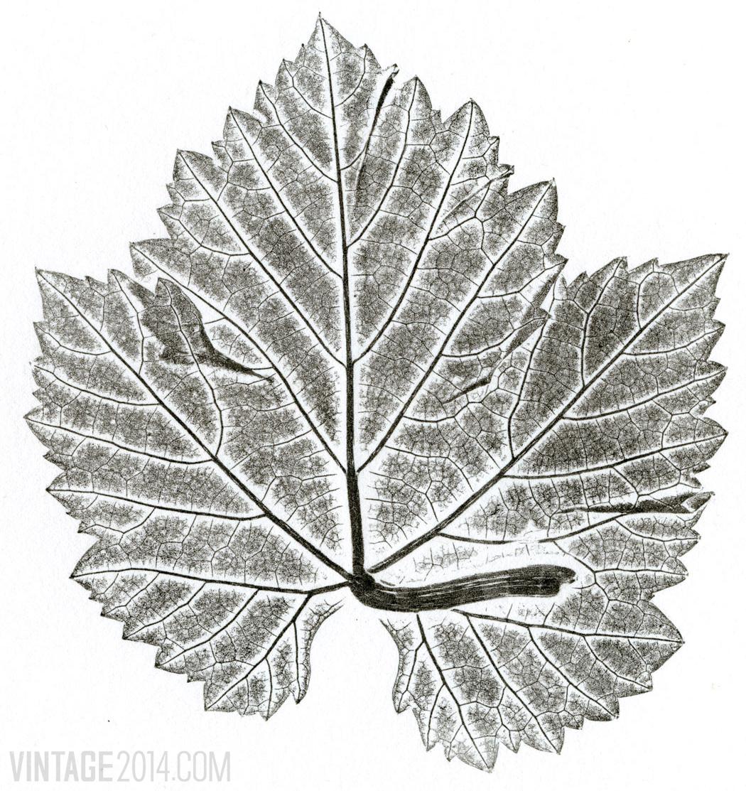 Grenache Blanc Leaf Pressing