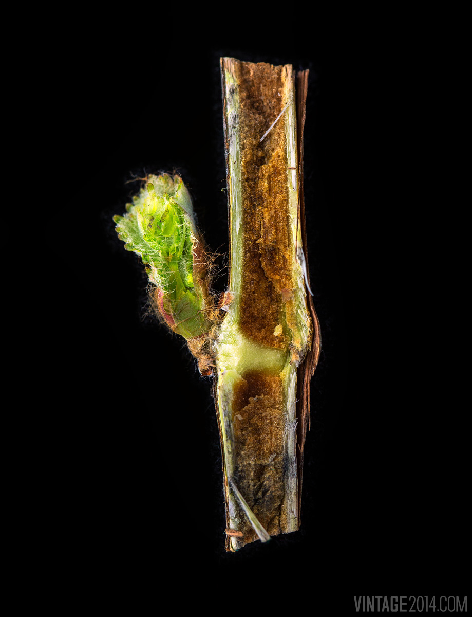 bud break cross section