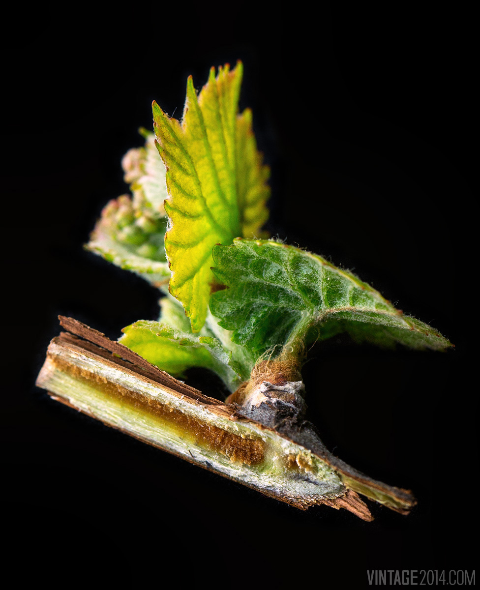 bud break macro