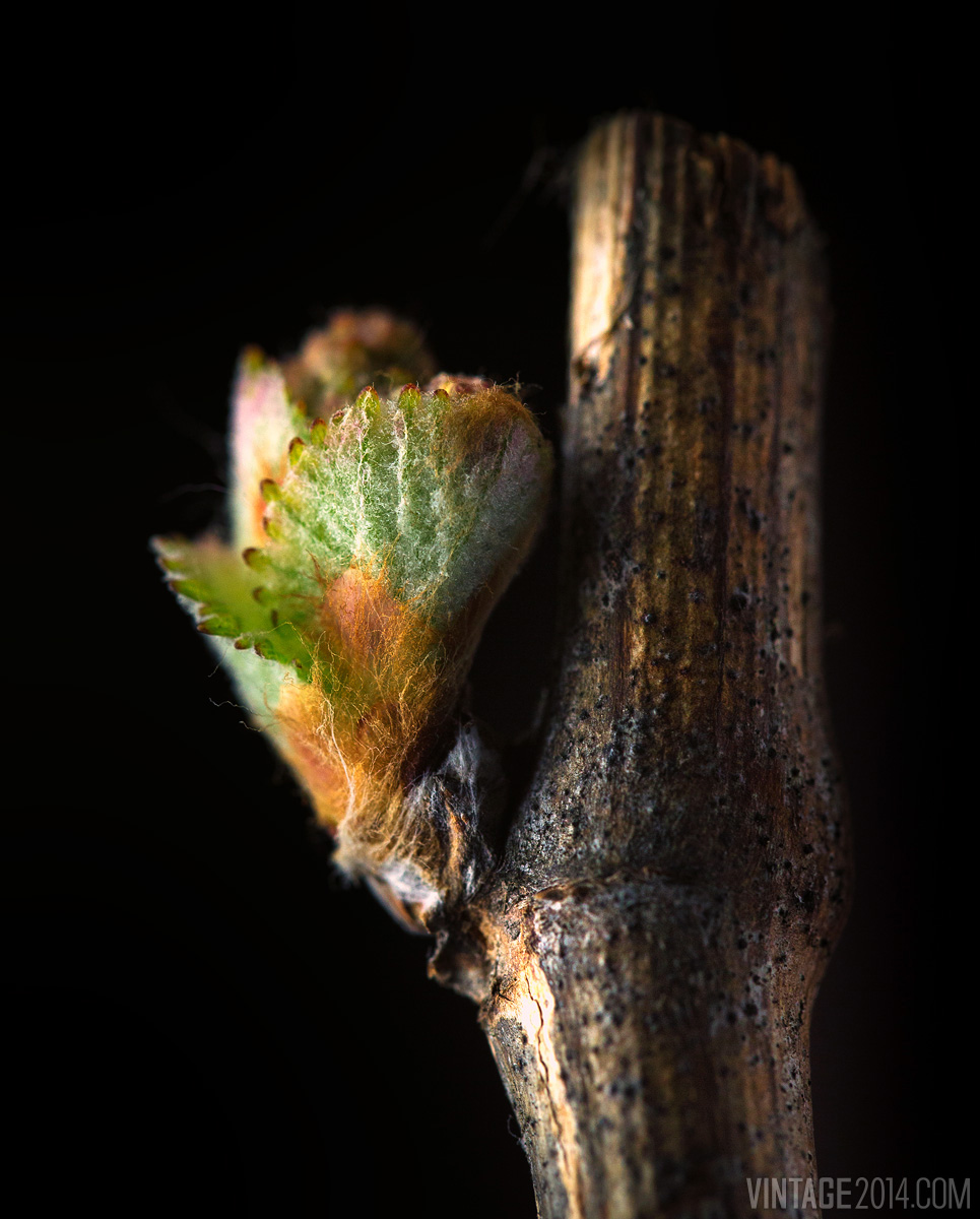 wine grape bud macro