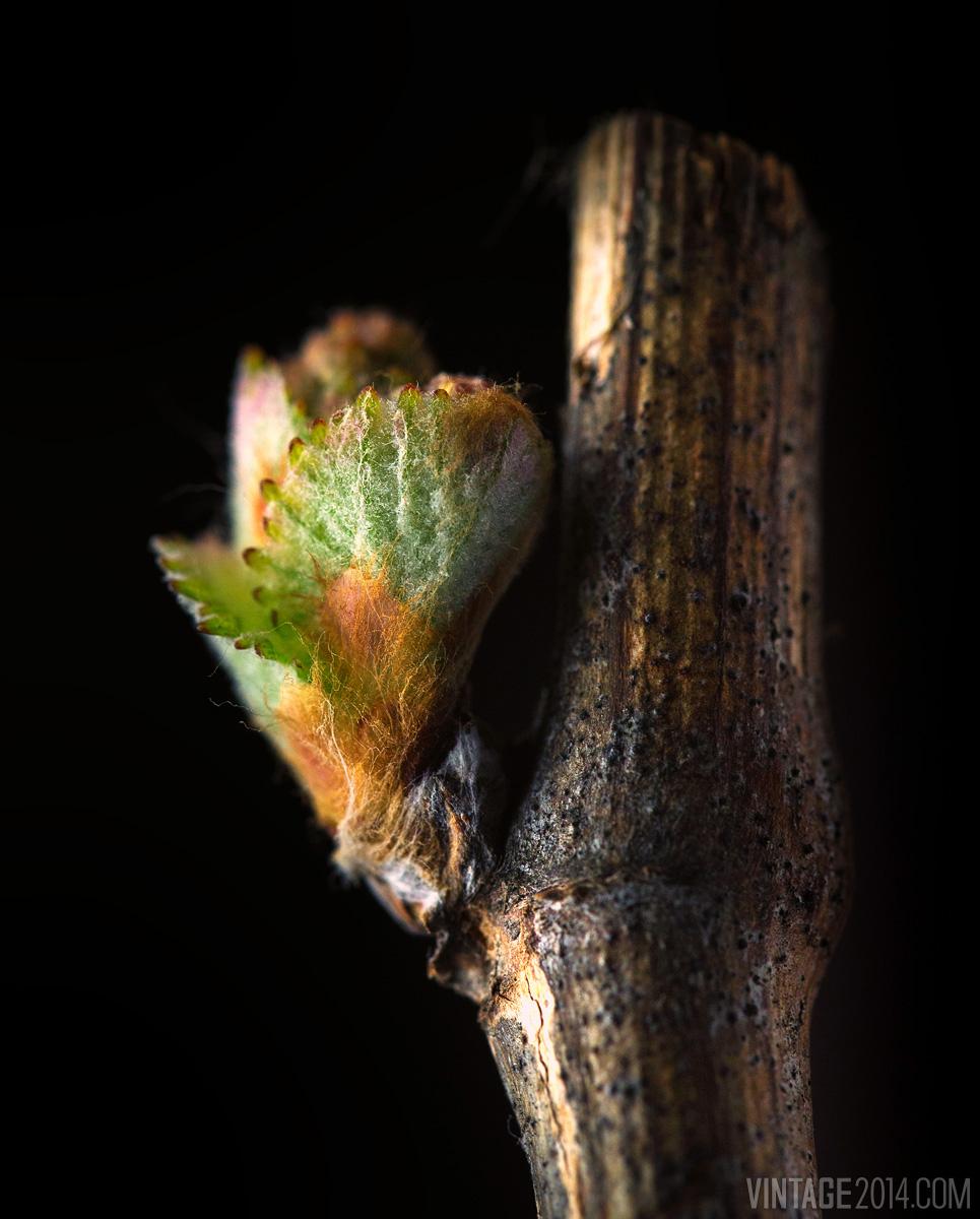 wine grape bud macro