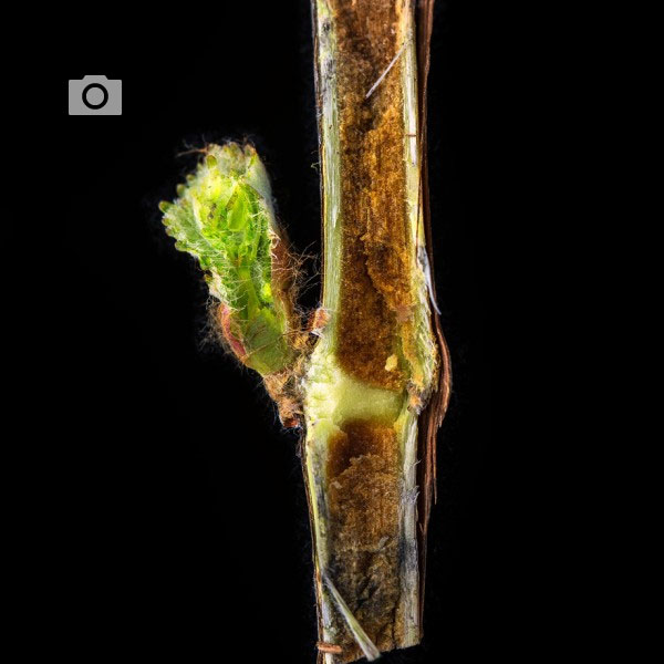wine grape bud cross section