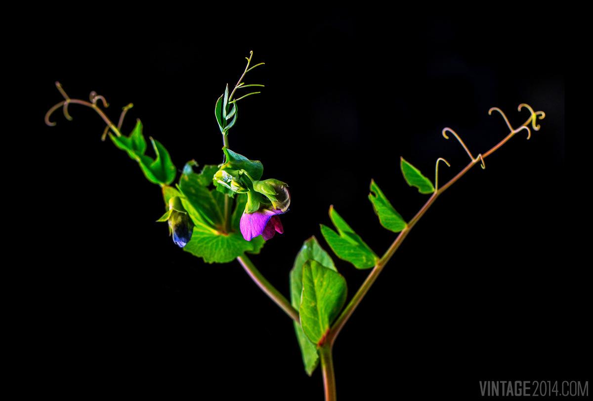 sweet peas in vineyard cover crop