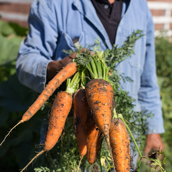 vineyard carrots