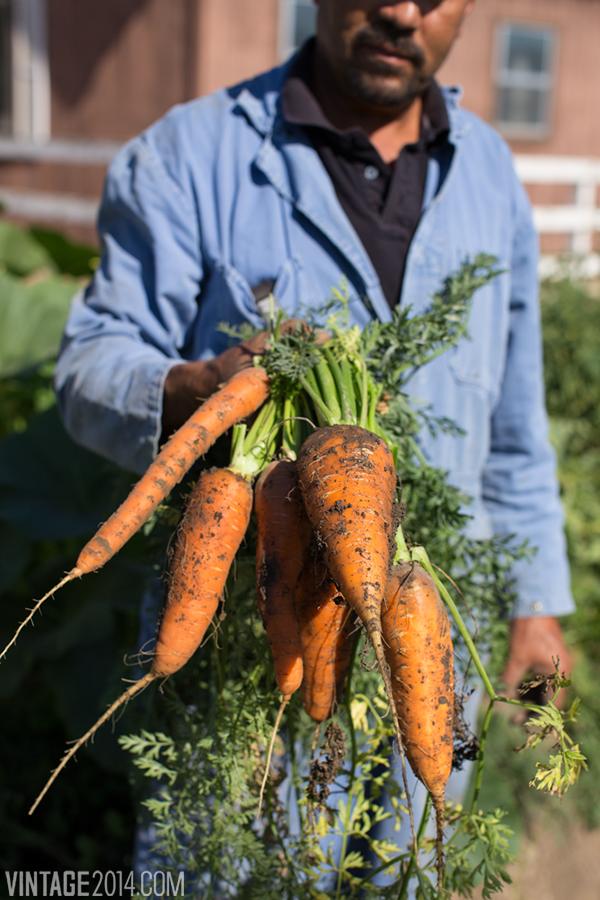 vineyard carrots