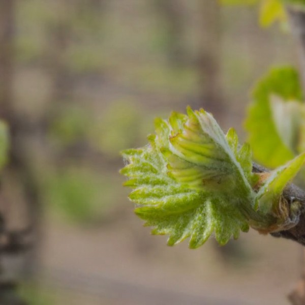 grape vine bud break time lapse video