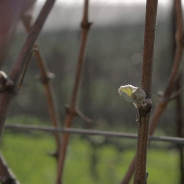 Grape Vine Dormancy